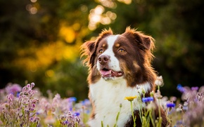 Picture face, flowers, dog, Australian shepherd