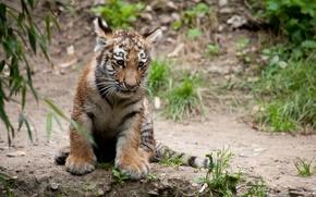 Picture cat, tiger, cub, tiger
