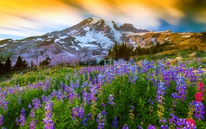 Picture mountain, the volcano, flowers, nature, Washington, top, Lupin, Mount Rainier, grass, Mount Rainier National Park, ...