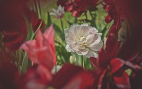 Picture greens, white, flowers, red, spring, tulips