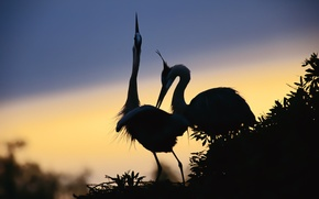 Picture PAIR, The SKY, FEET, SOCKET, BEAK, BIRDS, SILHOUETTES, NECK, FEATURES, HERONS