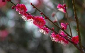 Picture macro, flowers, branches, glare, Tree, petals, blur, flowering, raspberry, drain