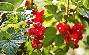 Picture nature, berries, nature, berries, red currant, red currant