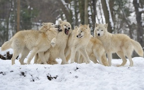 Picture winter, snow, pack, wolves