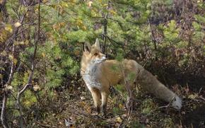 Picture Fox, Swamp, Kogalym