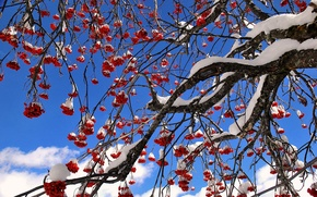 Picture the sky, snow, berries, tree, Rowan
