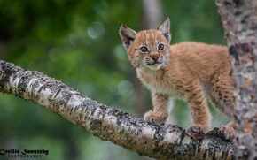 Picture pose, predator, cub, lynx, wild cat, on the tree, observation, a small lynx