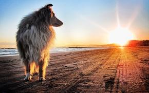 Wallpaper collie, Dog, the sun, shore, sunset, sand
