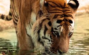 Wallpaper thirsty, tiger, water