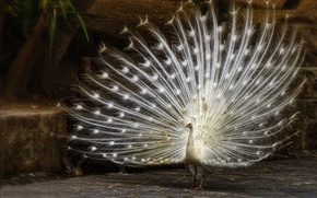 Picture bird, feathers, tail, peacock, white peacock