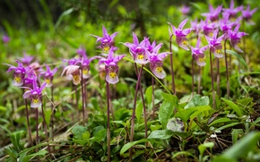 Picture flowers, Canada, Albert, Banff National Park, Orchid, Calypso