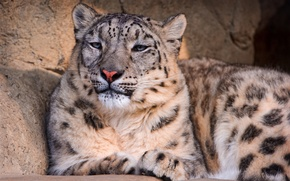 Picture look, stones, stay, slumber, or the snow leopard (Uncia Uncia, or snow leopard, Panthera uncia), ...