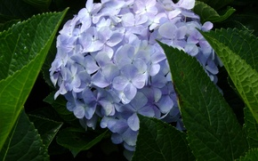 Picture blue, Vietnam, spring, hydrangea, Dalat