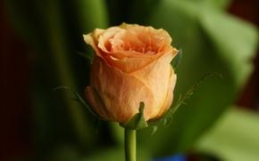 Wallpaper Bud, petals, rose