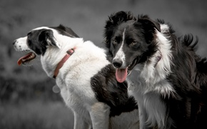 Picture language, dogs, look, collar, The border collie