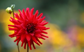 Picture flower, red, background, Bud, Dahlia