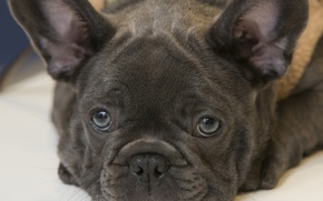Picture look, bulldog, face, French bulldog