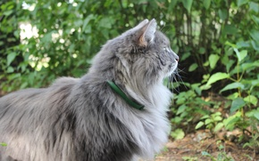 Picture greens, cat, animals, summer, grass, cat, peer