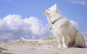 Picture dog, Finnish, Lapp, Laplander husky, Finnish lapphund