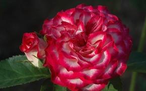 Picture macro, rose, roses, petals, Bud