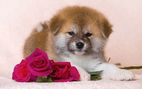 Picture flowers, roses, fluffy, puppy, dog