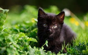 Wallpaper kitty, baby, grass, black kitten, look