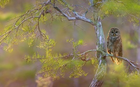 Wallpaper branches, tree, bird, hawk owl