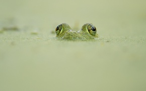 Wallpaper looking out, frog, camouflage, wildlife