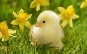 Wallpaper grass, macro, flowers, bird, yellow, chicken, chick, daffodils