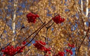 Picture autumn, birch, Kalina