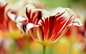 Picture strips, flowers, Tulip, petals, blurry, Wallpaper from lolita777