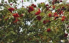 Picture nature, berries, Rowan