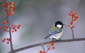 Picture berries, bird, branch, bird, tit
