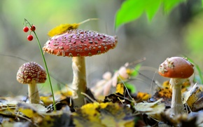 Picture autumn, forest, leaves, nature, berries, mushrooms, Amanita, trio, Lily of the valley
