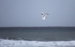 Picture pacific ocean, sea, owl, wildlife, snowy owl