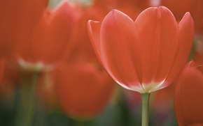 Picture field, macro, flowers, petals, tulips, red, red, field, flowers, macro, petals, Tulips