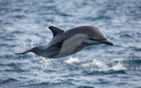 Picture ocean, flight, splash, jumping, dolphin