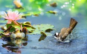 Picture flower, leaves, water, nature, bird, frog, Lotus, bokeh, Bulbul