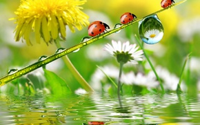 Picture flowers, chamomile, reflection, Rosa, dandelion, ladybugs, drops