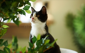Picture greens, cat, leaves, black and white, plant, Kote