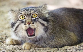 Picture cat, manul, ©Tambako The Jaguar