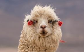 Wallpaper Lama, look, face