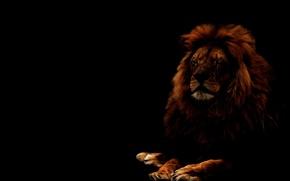 Picture cat, look, face, predator, Leo, mane, lion