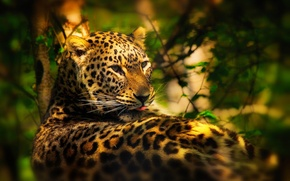 Picture leaves, trees, leopard, lies