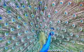 Picture feathers, tail, peacock