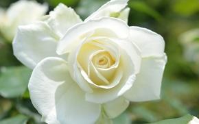 Picture macro, rose, petals, Bud, white rose
