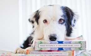 Picture look, books, dog