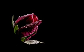 Picture flower, drops, the dark background, rose, red