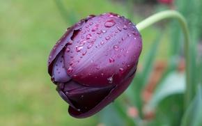Picture drops, Tulip, Black, blur