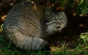Picture predator, manul, the Pallas cat, © Anne-Marie Kalus